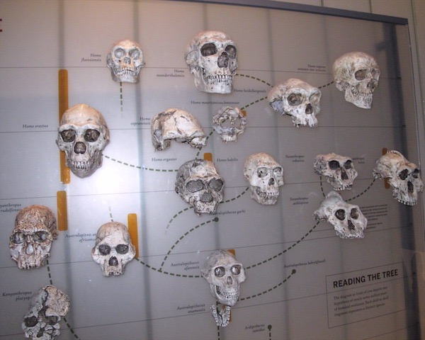 Hominid Family Tree at the American Museum of Natural History, Hall of Human Origins, photo by Paul M. Berger 2015